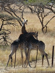 necking (not a loving thing)