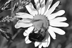 Bee (Mags McLaren) Tags: 7daysofshooting week33 simplicity blackandwhitewednesday