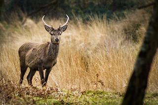 Red Deer (Cervus Elaphus) - Stag (Male) - Juvenile