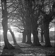 hornbeams (steve-jack) Tags: hasselblad 501cm 150mm kodak trix 400 film medium format mf 6x6 ilford id11 epson v500 trees