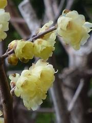 ロウバイ (nofrills) Tags: spring season flora floral nature bud buds tree trees ロウバイ 蝋梅 yellow japan chimonanthuspraecox wintersweet japaneseallspice