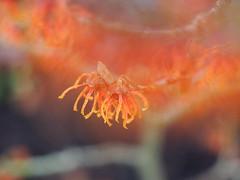 Witchhazel Jelena (chris p-w) Tags: shrub witchhazel orange cmwdorange flickrsfantasticflowers colour jelena bokeh