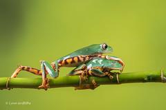 Thats my dose! - Super Tiger Legged Waxy Monkey Leaf Frog D50_8093.jpg (Mobile Lynn) Tags: amphibian frog supertigerleggedwaxymonkeyleaffrog nature captive fauna wildlife bournemouth england unitedkingdom gb coth specanimal coth5 ngc npc