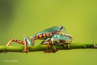 Thats my dose! - Super Tiger Legged Waxy Monkey Leaf Frog D50_8093.jpg