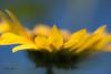 """I'm like a plant, I reach for the sun"" Carol King (kellykhorne) Tags: backyardfloral bees sunflowers"