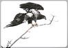 Eagles (Jami Bollschweiler Photography) Tags: bald eagles juvenile snow flying utah photography wildlife bird