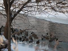 Mallards under tree (Janet Tubb) Tags: bird duck mallard tree snow water creek stream oshawa ontario canada can