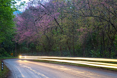 Cherry Blossom and Curved Road. (baddoguy) Tags: adventure backgrounds beauty in nature bent boundary car cherry blossom chiang mai province color image copy space country road curve discovery forest highway horizontal journey landscape light trail lighting equipment long exposure majestic mountain national park natural condition no people outdoors photography rural scene sakura chiba season speed springtime street thailand tourism transportation travel destinations tree vacations