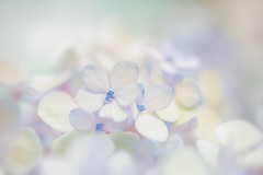 Little Pieces Of You (Anna Kwa) Tags: hydrangea hortensia flowers macro bokeh nature art annakwa nikon d750 1050mmf28 my small little things always whatmatters omm you seeing heart soul throughmylens love destiny fate hope journey wish life dream gardensbythebay flowerdome