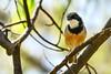 Rufous Whistler (Rodger1943) Tags: whistlers rufouswhistler australianbirds fz1000