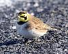 DSC_9125=3HLark (laurie.mccarty) Tags: hornedlark bird animal avian nature outdoor wildlife