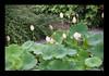 Duke Gardens July 2015 9.19.48 PM (LaPajamas) Tags: nc flora dukegardens gardens