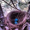 Robin egg blue (Angela Costello) Tags: nest robin blue egg