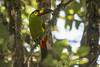 850_7353 (Weng Kong Koh) Tags: birds birdwatcher nature wildlife toucan