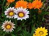 Garden Fiesta (npbiffar) Tags: garden flower petal plant outdoor npbiffar d5300 nikon closeup 60mm tamron color coth5