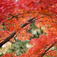去年の秋のだけどせっかくなんで。 #紅葉 #去年の秋 #autumn #autumnleaves #pentax #asahipentax #pentaxkm #oldcamera #ペンタックス #フィルム一眼 #フィルムカメラ #オールドカメラ #smcpentaxm #75-150mmf4 #filmphotography #analogphotography #35mm #fujifilm #film #業務用100 (yadoku_frog) Tags: instagram ifttt