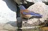 Western Bluebird -- Male (Sialia mexicana); Santa Fe National Forest, NM, Thompson Ridge [Lou Feltz] (deserttoad) Tags: nature newmexico bird wildbird songbird thrush bluebird mountain nest reflection behavior