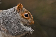 Cheeky Grey Squirrel stealing birds food!... (JerryGoulet) Tags: