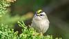 Golden-crowned Kinglet (Bob Gunderson) Tags: birds california goldencrownedkinglet kinglets kingletsgnatcatchers northerncalifornia regulussatrapa sanfrancisco sutroheights