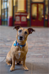 Frankie goes shopping by Charlotte Teager (Teager Photography) Tags: d750 bromleycameraclub london colour competition pdi nikon leadenhallmarket city sunday frankie dog pet petphotography portrait