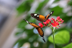 Butterfly Beauties (SteBow Photography) Tags: butterflies dslr canon80d 80d canon eos