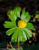 Aconites 5 (margaretc1946) Tags: aconite wildflower gloucestershire pentaxk3 tamron90mmf28macrolens