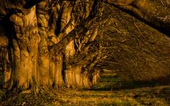 Beech (Peter Quinn1) Tags: beech kingstonlacy dorset sunrise morning nationaltrust roadside spring tunnel tunneleffect