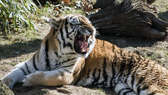 Tiger at National Zoo (dckellyphoto) Tags: 2018 washingtondc washington districtofcolumbia nationalzoo zoo animal smithsoniansnationalzooandconservationbiologyinstitute canon1300d canonrebelt6 pantheratigris cat smithsonian roar yawn