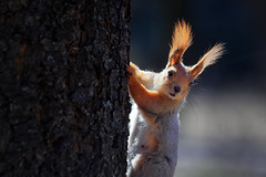 Another squirrel (Unicorn.mod) Tags: 2017 squirrel colors nature sunlight sunshine canoneos6d canon70300f456isusm outdoor animal tree