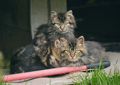 3 Kittens (Chriss Pagani) Tags: cats kittens rescue eyes d7100