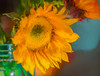 cut sunflower in a jar (Pejasar) Tags: cut flower sunflower plant bloom blossom yellow indoors tulsa oklahoma painterly art artistic