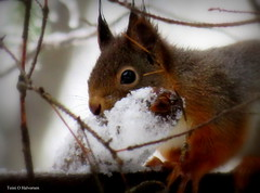 The squirrel found a frozen pine cone (Toini O Halvorsen) Tags: squirrel winter snow pinecone