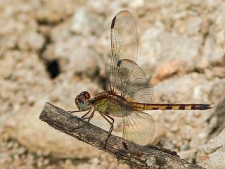 Dragonfly at Caroni Swamp, Trinidad