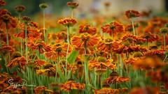 Orange Flowers (svpe4711) Tags: d750 flowers nature flower germany blume natur red garden grün summer macro rot orange schlossdyck makro garten gelb park green yellow sommer blumen