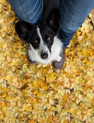Penny (MelissaW Dog Photography) Tags: penny dog corgi mix autumn birthday 10 years old sweet cute friend positive training orange yellow leaves nikon d5200 tamron 1750 28 non vc november