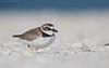 Wilson's Plover (Cameron Darnell) Tags: wilsons plover bird birding photography florida january 2018 beach shorebird sand ocean bokeh cameron tamron estero charadrius canon photo avian
