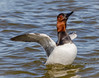 Canvasback Drake (tresed47) Tags: 2016 201603mar 20160301marylandsebirds birds cambridge canon7d canvasbackduck content ducks folder march maryland peterscamera petersphotos places season takenby us winter ngc