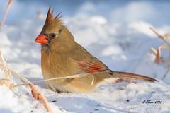 IMG_8631 female red cardinal (starc283) Tags: starc283 wildlife flickr flicker bird birding birds canon canon7d cardinal femalecardinal femaleredcardinal nature naturesfinest naturewatcher outdoors outdoor winter