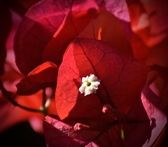 Happy Valentine's Day (The Spirit of the World ( On and Off)) Tags: plant flower red sandiego california usa nature desert landscape veins macro colorful bougainvillea