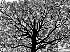 Winter Fireworks (Halvorsong) Tags: autumn blackwhite blackandwhitephotography branches gianttrees sky trees winter blackandwhite composition country countryliving nashville art artistry america americana fall treephotograhy treetuesday oldtrees amazingtrees tree naturephotography halvorsong bw classic old nature outdoor outdoors contrast