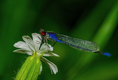 Small red-eyed damselfly (Bojan Žavcer) Tags: small redeyed damselfly smallredeyeddamselfly