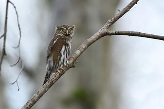 Northern Pygmy Owl - Shapeshifter