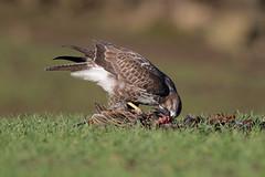 Common Buzzard (Buteo Buteo) 9P1A2818a (Adrian Dancy) Tags: nature wildlife wildbird commonbuzzard bird birdofprey buteobuteo eating raptor adriandancy canon7dmkii canonef500mmf4lisiiusm