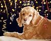 IMG_2563 (Denise Trocio (D Trocio Photography)) Tags: lucky luckycharm pet dog domesticanimal cockerspaniel newyear 2018