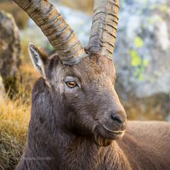 Stambecco (Rossano D'Achille) Tags: valledaosta italia it stambecco ibex capraibex