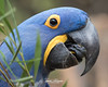 Sampson (ToddLahman) Tags: sampson bluehyacinthmacaw blue hyacinth macaw bird birds beautiful male outdoors sandiegozoosafaripark safaripark canon7dmkii canon100400 canon closeup