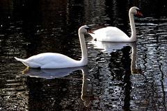 Schwäne (ingrid eulenfan) Tags: leipzig johannapark teich vogel bird schwan
