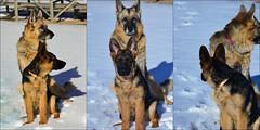 synchronized dog olympics (Karen McQuilkin) Tags: yozeke training synchronized germanshepherds dogolympics