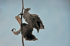 vintage (christiaan_25) Tags: wildbergamot leaves dried stem serrated curled curlicue veins plant wildflower winter cold shadow light simple art