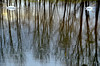 Les cygnes  -  Swans (Philippe Haumesser Photographies (+ 5000 000 views) Tags: arbres water reflets reflections cygnes alsace elsass france hautrhin 68 nikond7000 nikon d7000 reflex 2018 inondations floods swans bois